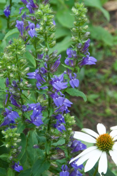 Vertical image of great blue lobelia with horticultural coneflower in the foreground