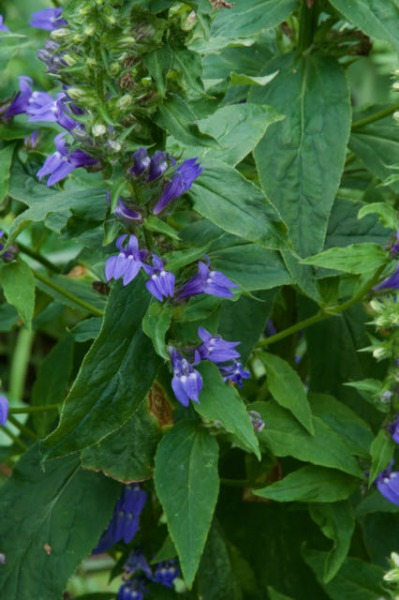 Verticle image of great blue lobelia with foliage