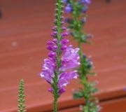 Flower stalk of obedient plant (Physostegia virginiana).
