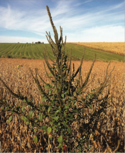 Palmer amaranth in soybean field.