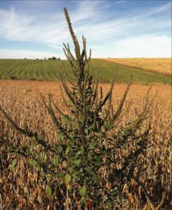 Palmer amaranth in soybean field.