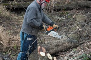 Volunteer using chainsaw to cut up a boxelder tree.