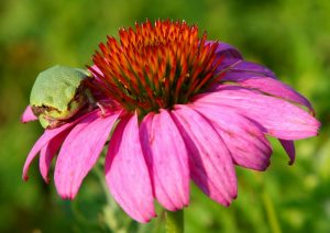 picture of gray green frog on a purple cone flower.