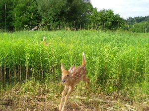 Photo of fawn bounding out of a patch of goldenrod.