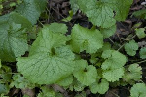 Picture of young garlic mustard plants.