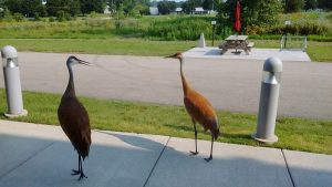 Two Sandhill cranes standing on a sidewalk.