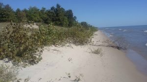 Picture of Lake Michigan beach with trees, dune grass and shrubs.