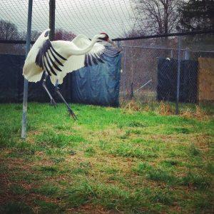 Whooping Crane jumping.