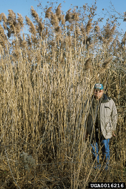 Picture of standing man with common reed towering over him.
