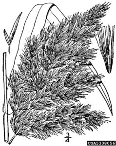 Illustration of common reed seed head.