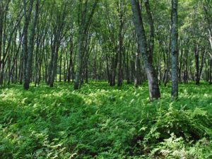 Picture of silver maple floodplain forest community.