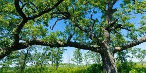 Large open growth form oak tree