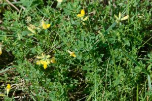 Picture of Birdsfoot trefoil (Lotus corniculatus).