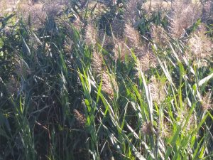 photo of Phragmites also called common reed grass.