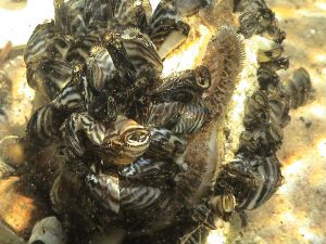 Picture of zebra mussels.