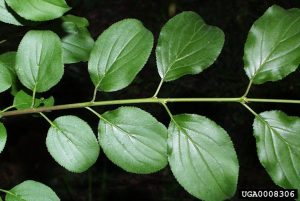 Picture of common buckthorn leaves