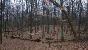Picture of oak hickory woodland.