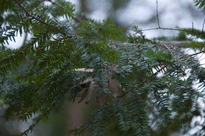 Picture of balsam fir branch.