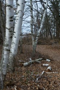 Picture of paper birch with cedar grove in the background.