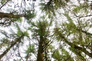 Picture of red cedar trees.