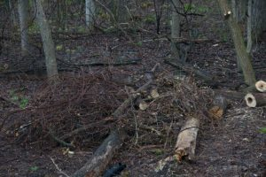 Image of buckthorn on brush pile