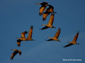 image of sandhill cranes flying in formation