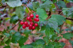 closeup image of highbush cranberry berries