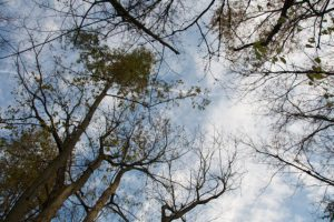 Image of ash trees crowns thinning from emerald ash borer