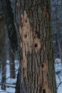 Image of green ash tree with large woodpecker holes