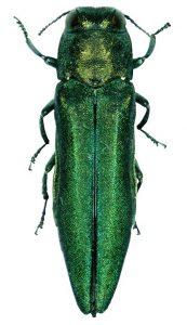 Image of emerald ash borer.