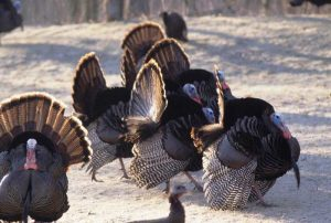Image of turkeys congregating in the snow
