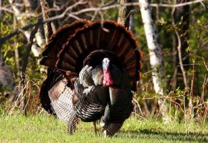 Image of male wild turkey in full display