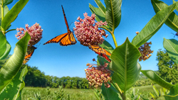 Image of monarch butterfly
