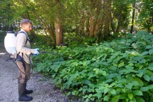 Image of herbicide applicator and Japanese knotweed.