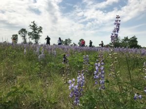 Image of lupine and Karner blue butterflies