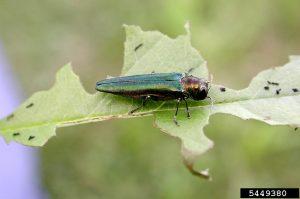 Image of emerald ash borer on half eaten leaf.
