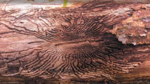 Image of EAB damage in bark layer of tree