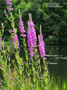 Image of purple loostrife.