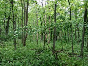 Image of flowering dogwood surrounded by woodland.