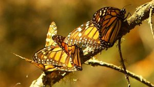 Image of monarch butterflies on small branch
