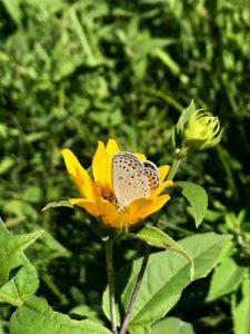 Image of Karner blue butterfly on orange flower.