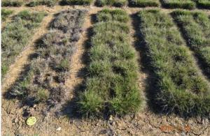 Image of grass test plots.