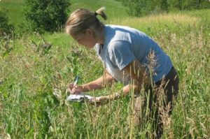 Image of volunteer looking for monarch caterpillars on milkweed.