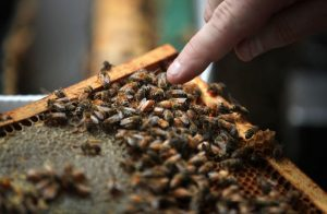 Image of frame with honey bees. Beekeeper's finger points to queen..