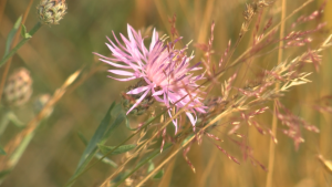 Image of spotted knapweed blossom.