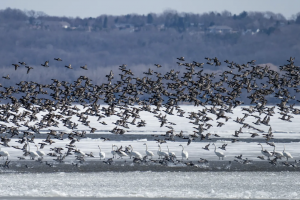 Image of waterfowl taking off from pond.