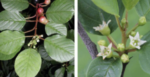 Two images showing alder leaf buckthorn in flower and fruiting.