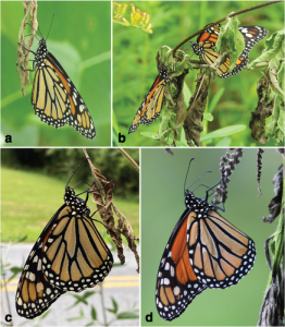 Four composite images of monarch butterflies feeding.