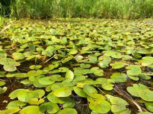 Image of European frogbit on pond.